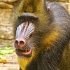 Killer Baboon